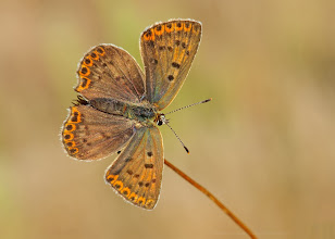 Photo: Lycaena tityrus, Cuivré fuligineux, Sooty Copper http://lepidoptera-butterflies.blogspot.fr/
