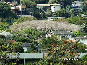 Photo: Enormous tree in Manoa Valley (just under Manoa Road)