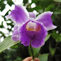 Large-flowered sobralia