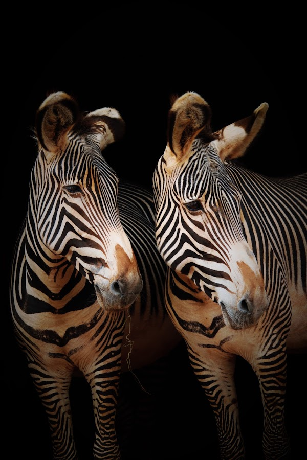 twins by Kathleen Versloot - Animals Other Mammals (  )