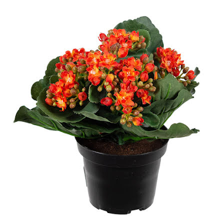 Kalanchoe Orange 20 cm