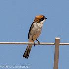 Woodchat Shrike; Acaudón Real