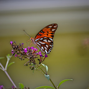 Gulf Fritillary on a bush by Bill Martin - Animals Insects & Spiders ( orange, butterfly, nature, bush )