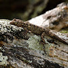 Salamanquesa común (Common wall gecko)