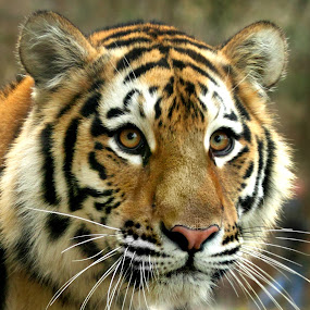 Simsa by Amanda Westerlund - Animals Other Mammals ( face, cat, pittsburgh, tiger, zoo, whisker, amur, cute, stripe )