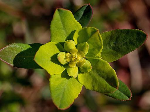 Euphorbia flavicoma occidentalis