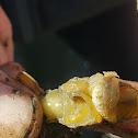 Griffen's Isopod