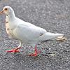 Rock Pigeon (Leucism)