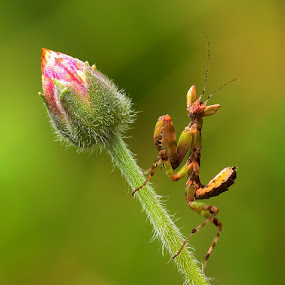 MANTIS by B Iwan Wijanarko - Animals Insects & Spiders