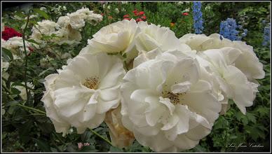 Photo: Trandafir (Rosa)    - din Turda, Calea Victoriei, Bloc B 17 - 2019.06.11