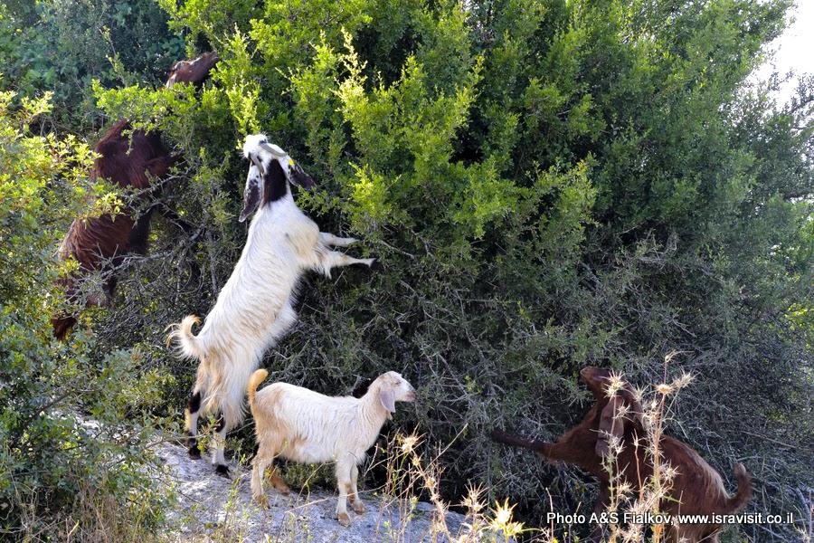 Как козы «съели» Израиль.