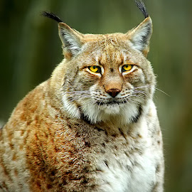 Lynx femelle by Gérard CHATENET - Animals Lions, Tigers & Big Cats