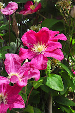 Photo: Clematis 'Barbara Harrington' closeup