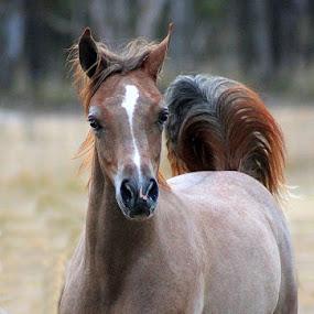 Arabian Elegance by Glenys Lilley - Animals Horses ( arabian horse,  )