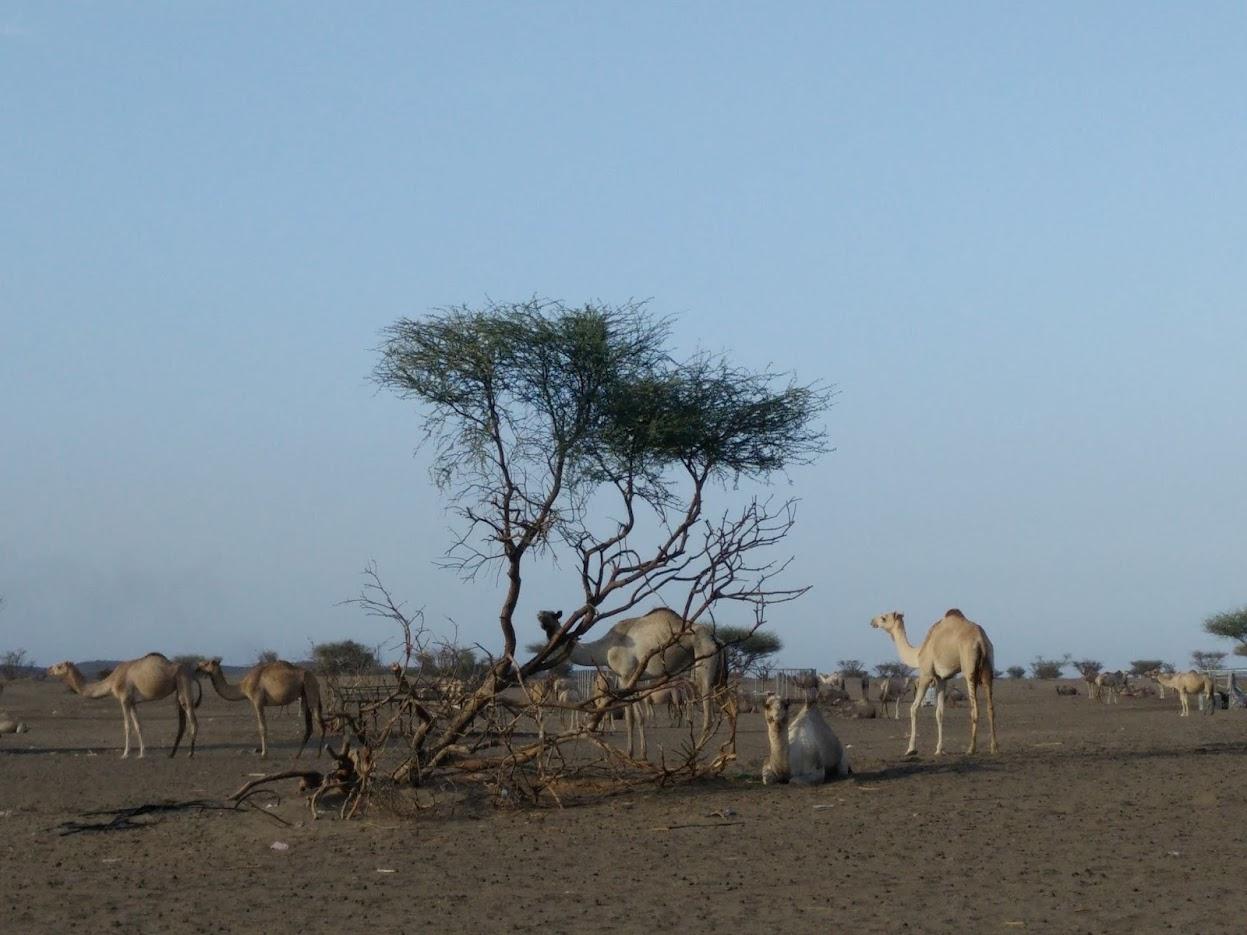camel tree oman desert