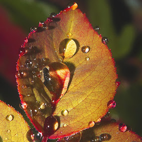 rose leaf by Capucino Julio - Nature Up Close Leaves & Grasses ( water, rose, nature, leaf, droplets )