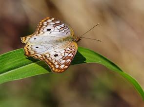 Photo: Anartia jatrophae (engl. White Peacock). Flügelspannweite 51 bis 70 mm.