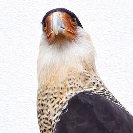Caracara  by Dawn Hoehn Hagler - Digital Art Animals ( tucson, caracara, arizona, bird, desert museum, photoshop, oil paint )