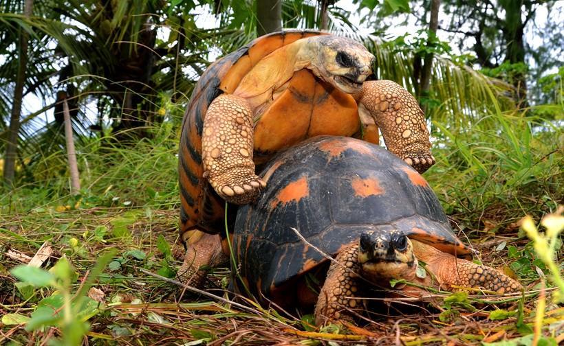 Image result for radiated tortoises breeding