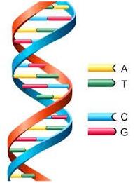 As pontes de hidrogênio do DNA
