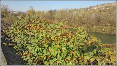 Photo: Iulişca (Fallopia japonica sau Polygonum: Cuspidatum, Polystach), planta invaziva - din Turda, de pe Dig, zona Str. Stefan cel Mare - 2018.11.04