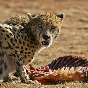 Cheetah feeding by Charmane Baleiza - Animals Lions, Tigers & Big Cats ( charmane baleiza, cheetah, big cats, wildlife, jagluiperd )