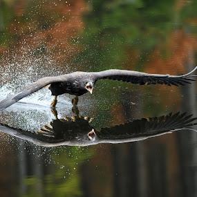 Landing Eagle by Petr Kovar - Animals Birds ( water, flying, birds of prey, reflection, autumn, birds )