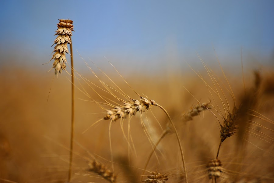 fields by Diana Garbacauskiene - Nature Up Close Flowers - 2011-2013 ( fileds )