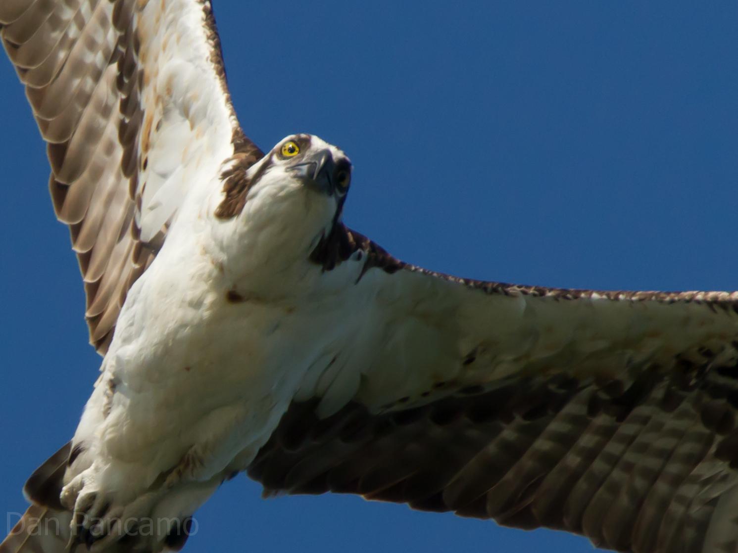 Photo: Osprey of Horsepen Bayou