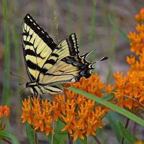 Tiger Swallowtail by Bill Diller - Animals Insects & Spiders ( michigan, nature, tiger swallowtail, port crescent state park, state park, swallowtail, flower, wildflower, butterfly weed, butterfly, orange milkweed, tiger swallowtail butterfly, wildlife )