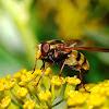 Sírfido (Hoverfly)