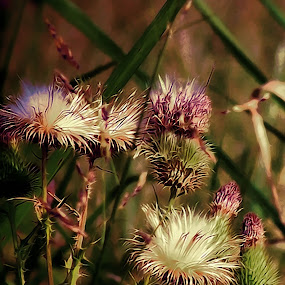 Thistle by Christy Leigh - Flowers Flowers in the Wild ( thistle, purple, white, flowers, floral, wild flowers )