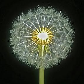 dandelion at night by Hatdy Tridjaja - Flowers Flowers in the Wild