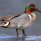 Green - winged Teal