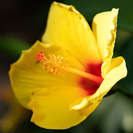 Beautiful yellow and red flower by Scott Thomas - Flowers Flowers in the Wild ( nature, yellow, huge, pistol, flower )