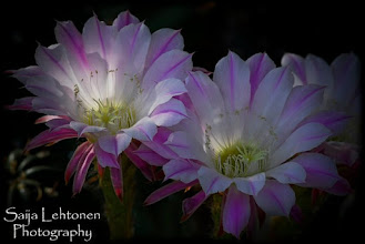 Photo: I must say good night... tomorrow is another day ;)  Saija Lehtonen Photography  #Floral #Flowers #Cactus #Nature #Photography