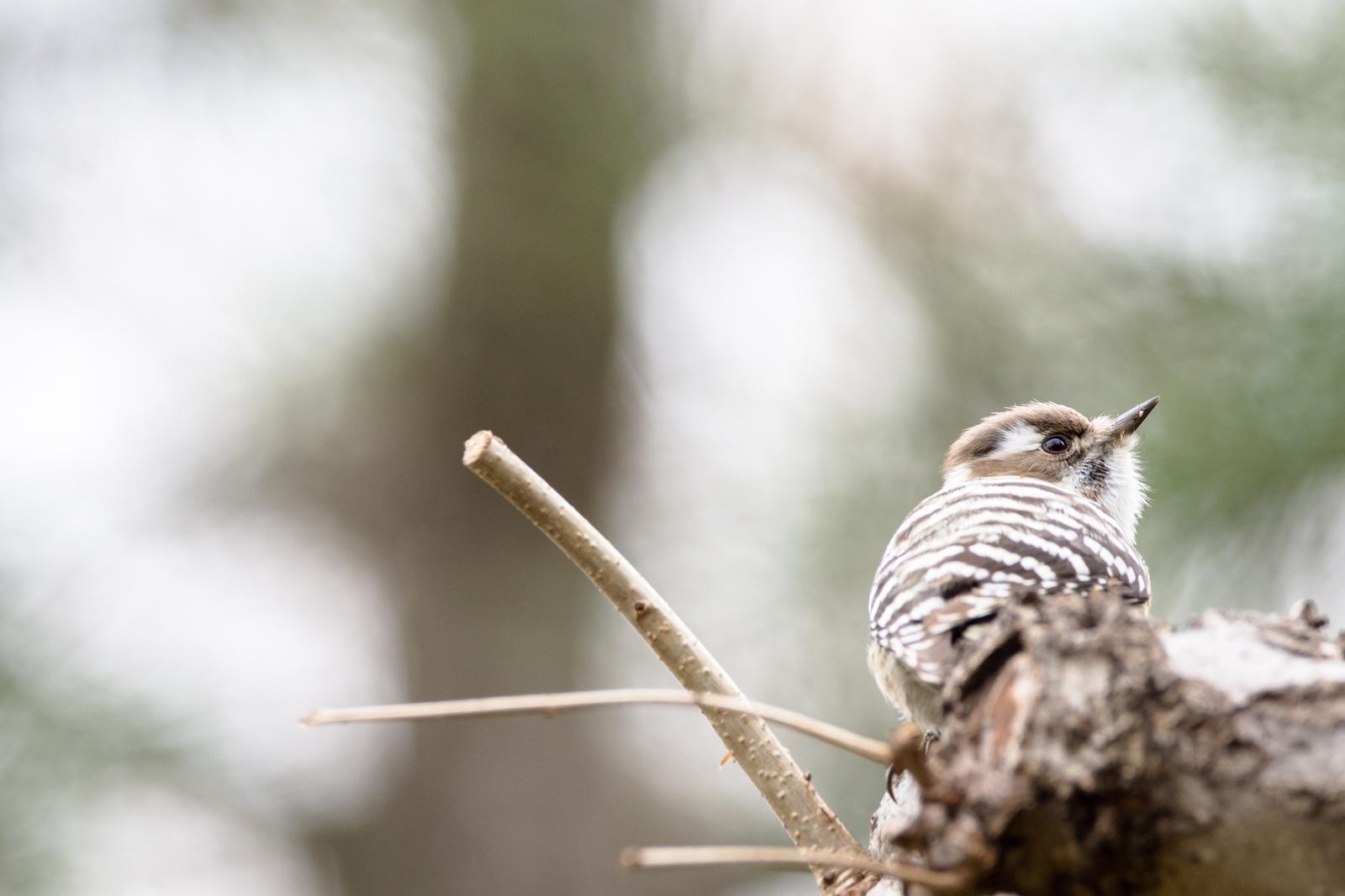 Photo: 「まっすぐな意思」 / Honest eyes.  つぶらな瞳に まっすぐな意思 こつこつと ただ日々を進む  Japanese Pygmy Woodpecker. (コゲラ)  Nikon D7200 SIGMA 150-600mm F5-6.3 DG OS HSM Contemporary  #birdphotography #birds #kawaii #nikon #sigma #小鳥グラファー  ( http://takafumiooshio.com/archives/757 )