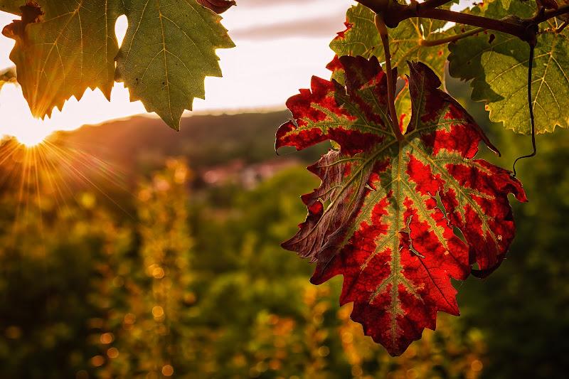 Settembre: luci e colori in vigna di Barbara Surimi