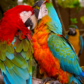 Ohhh that feels Good! by Charles Adam - Animals Birds ( parrots, colorful, colors, tropical, leaves, feathers, birds, colours, perched, color, macaws, branch, trees )