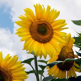 sunflowers field by LADOCKi Elvira - Flowers Flowers in the Wild ( nature, flowers, garden,  )