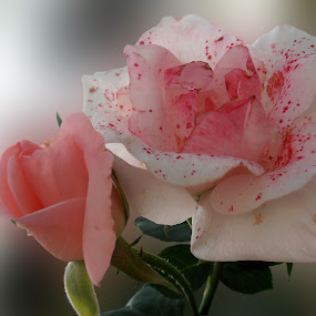 Two different  ... by Snezana Petrovic - Nature Up Close Flowers - 2011-2013 ( different, two, sisters, roses, the )