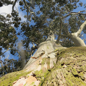 Gum Tree by Russell Benington - Nature Up Close Trees & Bushes ( tree, 120yrold, bush, nz, looking at the sky,  )
