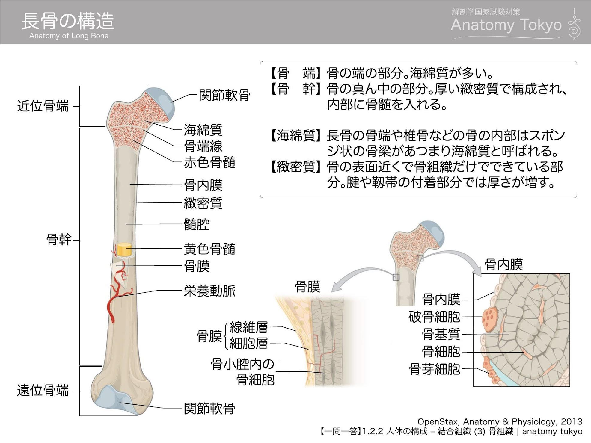長骨の構造