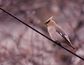 Photo: One major highlight of our winter Wallowa Valley tour is the flocks of Bohemian Waxwing that frequent the valley floor