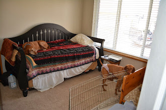 Photo: Bizzy and Budha glad they can come in this room after 3 weeks of being banned. See the foot of the bed? That's from Bizzy and her littermates! BAD Puppies!!
