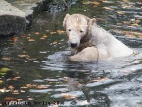 Photo: Nun ist Knut doch im Wasser :-)