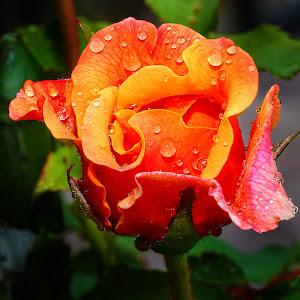 Bouton de rose.jpg