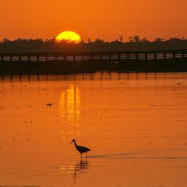 Wading at sunset by Joe Saladino - Landscapes Sunsets & Sunrises ( reflection, sunset, bird, water, sun )