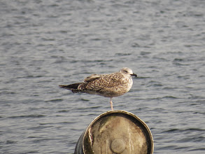 Photo: Trench Pool this appears to be a 1st year Herring Gull that has started to moult into first summer plumage (Ed Wilson)