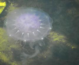 Photo: Jelly fish